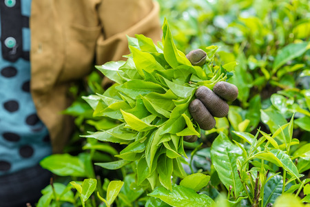 Fresh tea leafs in womans hand at tea garden Stock Photo