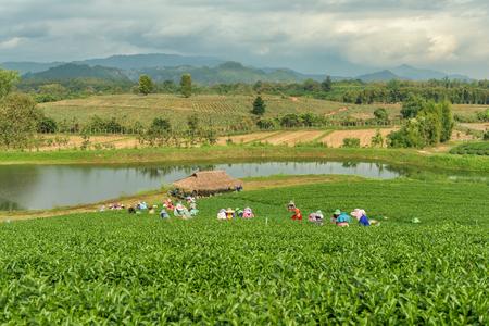 CHIANG RAI, THAILAND - DEC 8: Women from Thailand breaks tea leaves on tea plantation on December 8, 2015on a tea plantation at Chui Fong , Chiang Rai, Thailand.