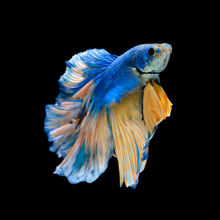 betta: Blue fighting fish isolated on black background Stock Photo