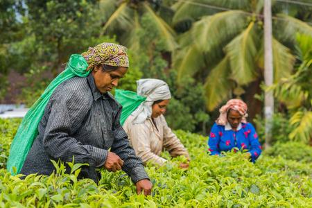 RASSAGALA, SRI LANKA - MAR 21: Woman from Sri lanka picking tea leaf on tea plantation on March 19, 2016 on a tea plantation at Rassagala, Sri Lanka.