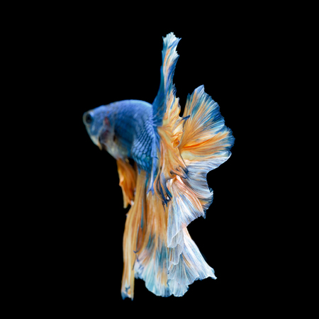 fineart:  Tail of blue fighting fish isolated on black background Stock Photo