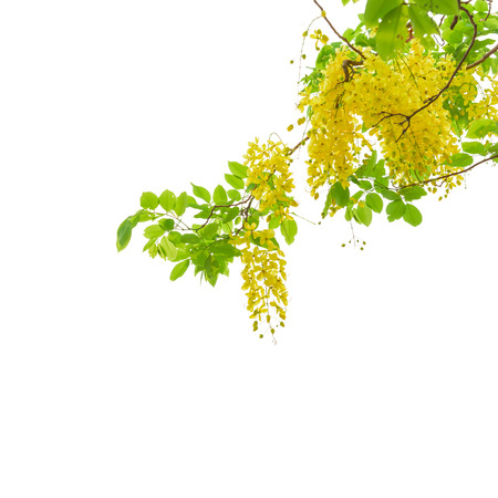 Golden shower tree (Cassia fistula) isolated on white background. This has clipping path.