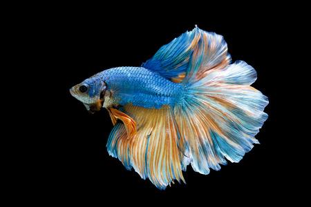 青黒の背景に分離された魚との戦い