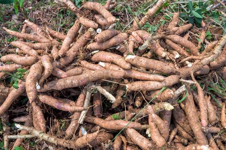 tuberous: Cassava in farm
