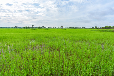 Landscape of a beautiful rice farm in countryside