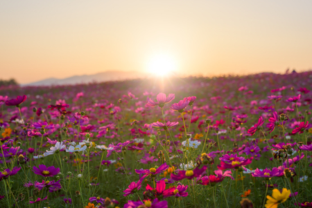 Beautiful cosmos flower in sunset.