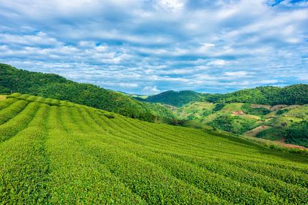 Fresh tea leafs in plantation. Stock Photo