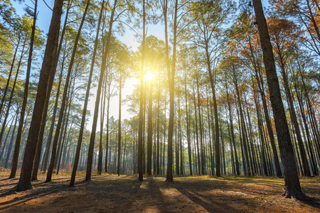 Bosque de pinos desde un ángulo bajo con soleado temprano en la mañana