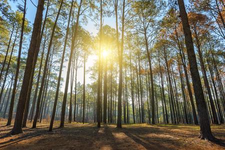 Forêt de pins à faible angle avec soleil tôt le matin
