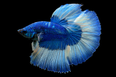 Blue fighting fish isolated on black background Stockfoto