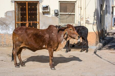 Cow on the road in city at India.