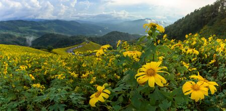 Panoramic of tithonia diversifolia (Mexican Sunflower) with beautiful landscape view in Thailand.