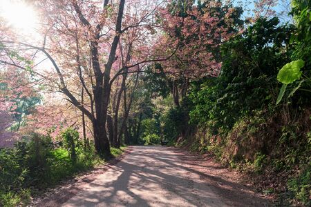 Beautiful view concrete road in the Prunus cerasoides tree forest at Chiang Mai province.