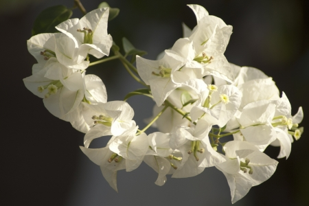 Bougainvillea white photo