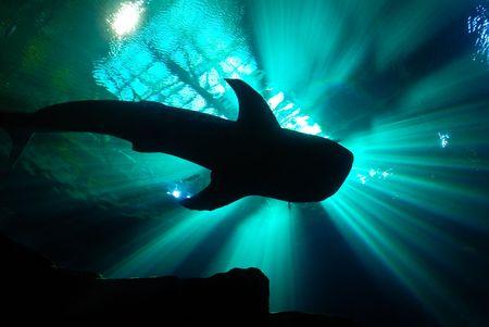 crepuscular: A whale shark in an aquarium Stock Photo