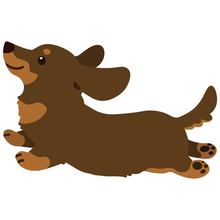 Flat colored chocolate & tan Miniature Dachshund jumping