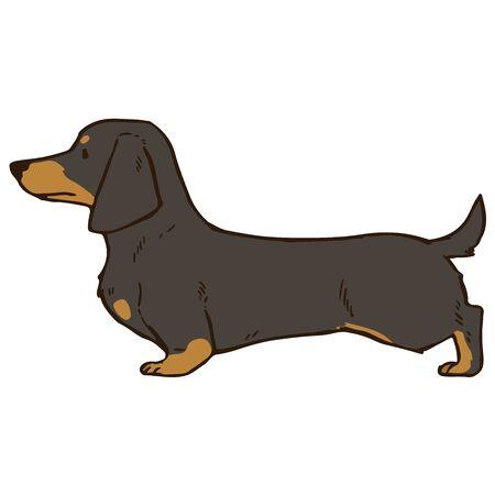 Smooth haired dachshund Black&Tan