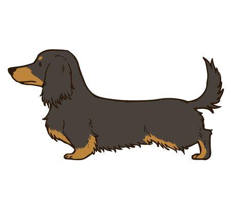 Long haired dachshund Black/Tan