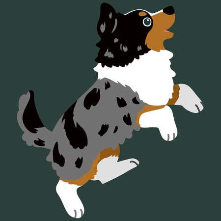 Flat colored Australian Shepherd dog jumping
