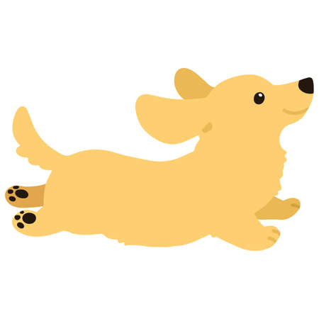 Flat colored golden Miniature Dachshund jumping