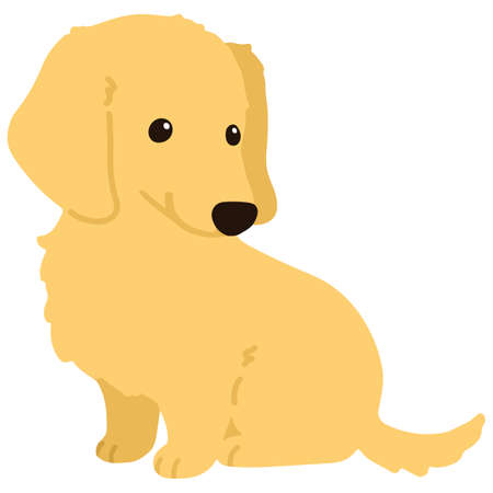 Flat colored golden Miniature Dachshund puppy sitting