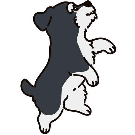 Miniature Schnauzer puppy jumping side view