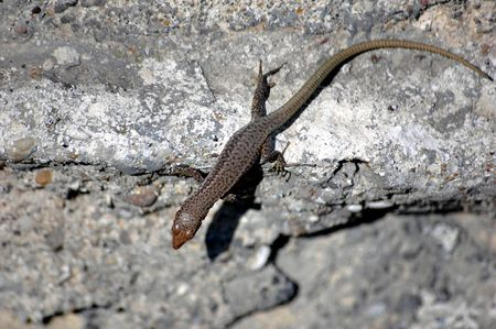 warms: a little lizard warms up on a vertical wall