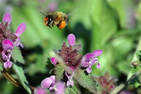 industrious: a tireless bee is directed to the field flower to lighted up a morning spring sun in search of nectar Stock Photo