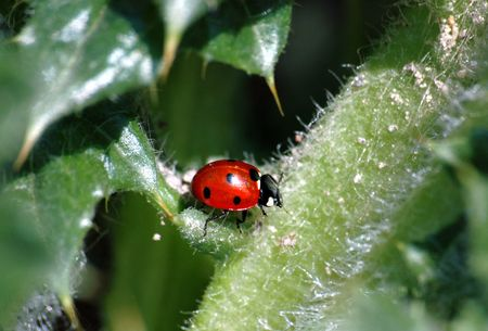 a ladybird is generously lighted up a spring sun on the prickly leaves of weed photo
