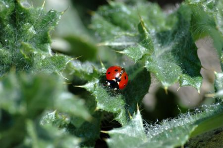a good-looking ladybird is generously lighted up a spring sun on the prickly leaves of weed photo
