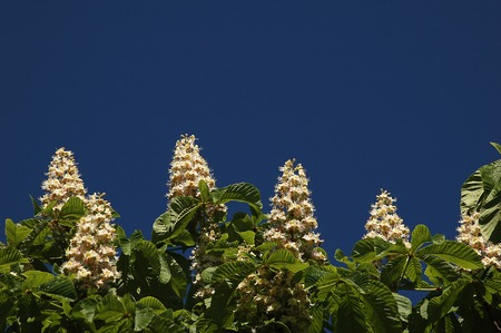 inflorescence: pyramidal inflorescence of horse-chestnut lighted up a spring sun