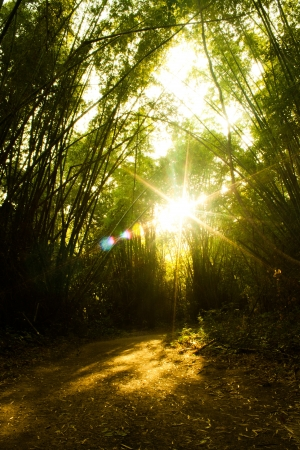 Bamboo Forest With sunset Stock Photo