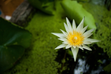 Lotus flower X photo