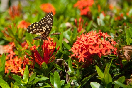 Red Ixora y mariposa X photo