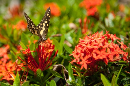 Red ixora and Butterfly VII Stock Photo