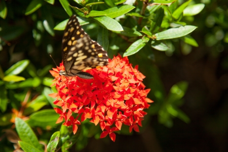 Red ixora and Butterfly VI photo