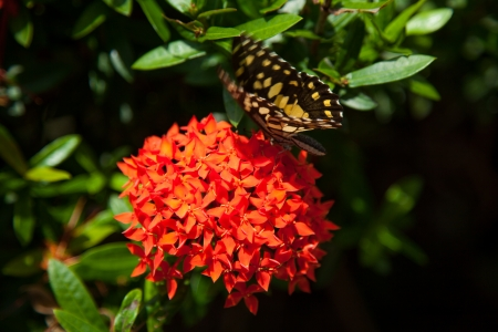 Red ixora and Butterfly photo