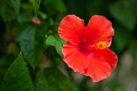 Red hibiscus flower IV