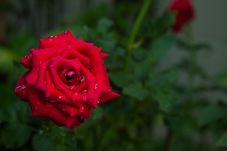 Red Rose V photo