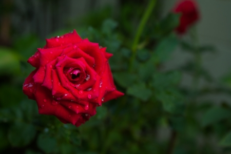 Red Rose III photo