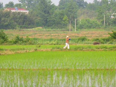 A woman was walking in the country on the path, the seedlings into the lush paddy fields Stock Photo - 13827686
