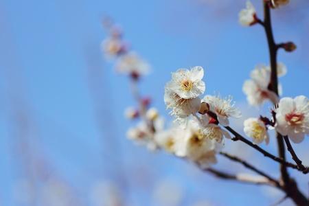 Plum blossom Stock Photo - 8811945