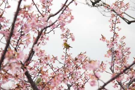 Zosterops on cherry blossom photo