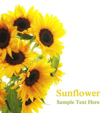 Sunflower. White background photo