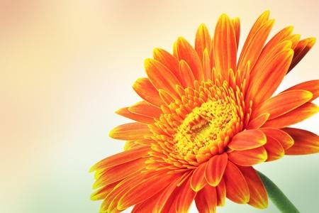 orange flower: Gerbera. Orange flower.