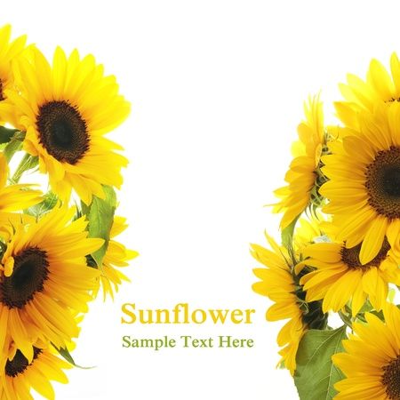 Sunflower Frame on white background photo