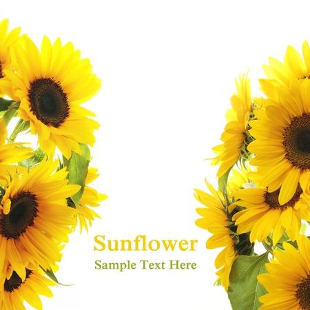 Sunflower Frame on white background Stock Photo - 9605391