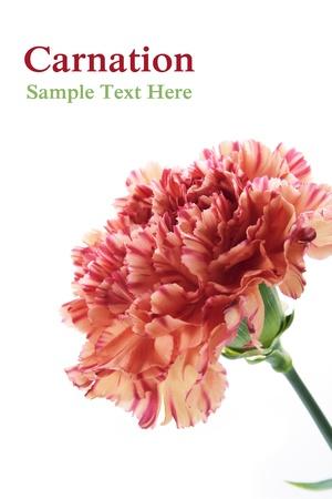 Carnation flower photo