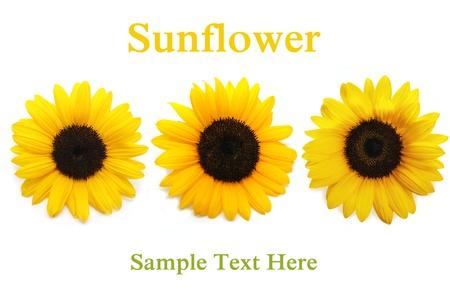 Sunflower background. On white background photo