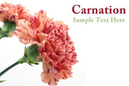 Carnation flower Stock Photo - 9639704